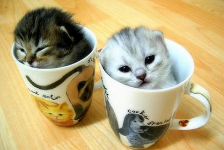 kittens in cups!